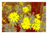 Yellow Daisies