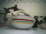 Maine Coon Cat Rests in a Bowl on Top of a Refrigerator