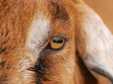 Close-up of a Nubian Goat's Eye