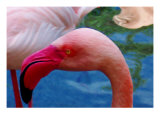 Headsup of Flamingo Bird