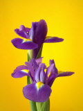 Still Life Photograph  Iris Flowers with Strong Yellow Colour Background
