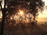 Rising Sun Coming Through Trees with Early Morning Mist  Riebeek East  Eastern Cape  South Africa
