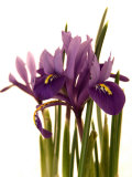 Spring Flowers: Iris