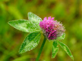 Pink Flowering Clover Covered in Morning Dew