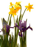 Spring Flowers: Daffodils  Iris and Muscari