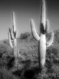 Two Saguaro (Carnegiea Gigantea) Cactii