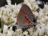 Red-Banded Hairstreak Butterfly Sipping Nectar from a Flower