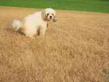 Poodle Urinating on Dead Grass