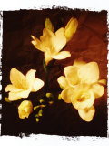 Three Freesia