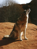 Gray Wolf Howling  Sedona  Arizona  USA