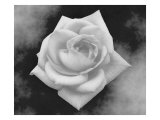 Gray Rose on Gray Background Giclée par Rich LaPenna