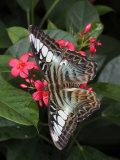 Blue Clipper Butterfly Feeds on a Tropical Flower in Captivity