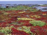 Colorful Plants in a Tundra Landscape on Hudson Bay's Rocky Shore