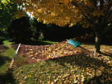 Maple Tree and Hammock in the Fall