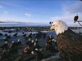 American Bald Eagles  Haliaeetus Leucocephalus  on Beach