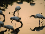 Wood Storks Fish in Floodwater