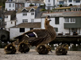 Mother Duck and Ducklings Walk Together in an Old Fishing Village