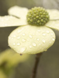 Water Drops Cling to Flowers of the Pacific Dogwood Tree in Spring