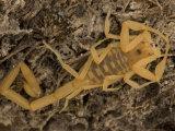 Venomous Bark Scorpion  Centruroides Exilicauda