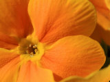 Close-up of an Orange Primrose Flower