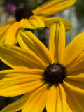 Close-up of a Black-Eyed Susan Flower