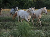 Two Albino Stallions at the Wild Horse Sanctuary