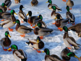 Group of Mallard Ducks Walking on a Frozen Pond