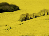 Yellow Rape Crop Growing in a Field