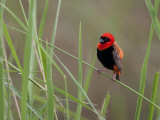 Southern Red Bishop Bird  Euplectes Orix  in Bright Breeding Plumage