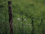 Wildflowers and Vines Growing in an Old Fence Topped with Barbed Wire