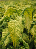 Fresh Green Tobacco Leaves Grow in a Farmer's Field in Yunnan