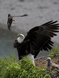 American Bald Eagle Protecting its Nest from a Black Oystercatcher