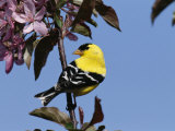 American Goldfinch Perched on a Flowering Tree Branch