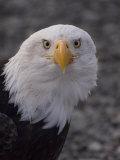 Adult Bald Eagle (Haliaeetus Leucocephalus)  Alaska