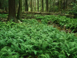 Ferns in a Virgin Hemlock Forest