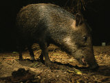 Foraging White-Lipped Peccary or Wild Swine