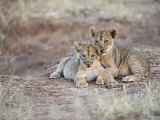 Two African Lion Cubs  Arm in Arm  as They Play in Kenya