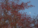 Moon Framed by Tree Branches Covered in Red Berries in Late Autumn