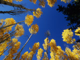 Blue Autumn Sky Contrasts with the Yellow Aspen Leaves