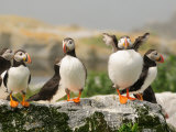 Cluster of Atlantic Puffins One Is Fluffing its Feathers