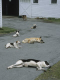 Group of Dogs Lying About on the Paved Driveway of a Farm Building