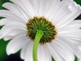 Underside of a White Daisy Flower
