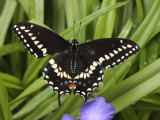 Black Swallowtail Butterfly  Papilio Polyxenes  Among Plants