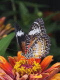 Common Lacewing Butterfly  Cethosia Biblis  Native to Southeast Asia