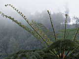 Tropical Green Fern in the Mist on the Side of a Volcano