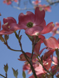 Pink Dogwood Flowers in Bloom