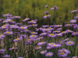 Lavender Daisy Flowers Photographed in Spring