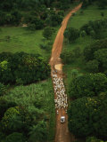 Zebu Cattle are Herded by Cowboys and a Truck Along a Muddy Road