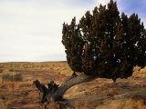 Juniper Tree Bent by the Wind