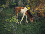 Wild Pony Grazing on Tender Grasses